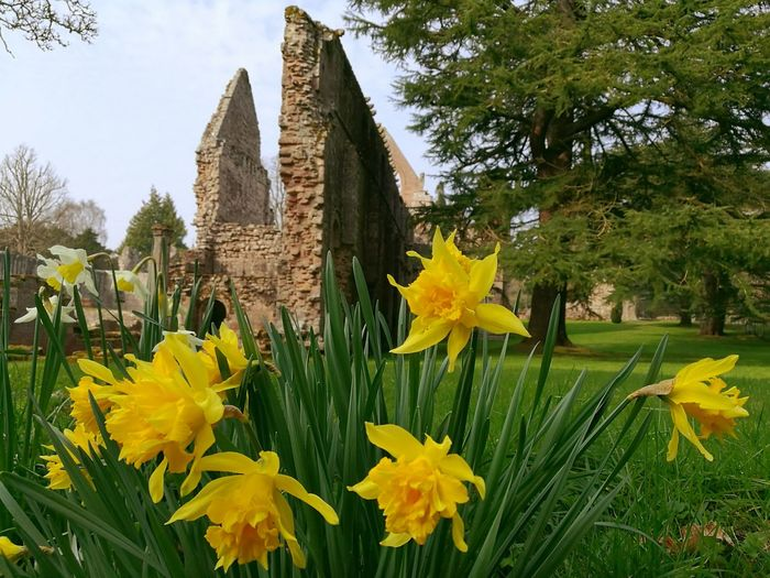 Dryburgh Abbey in the Scottish Borders. Yellow Flower Architecture Built Structure Building Exterior Plant No People Nature Outdoors Tree Day Sky Scotland Architecture Ruins Of A Past Ruins Architecture Ruins Still Beautiful Historic Site Abbey Ruins Historic Ruin Sunny Historical Building Travel Destinations Huawei P9 Leica