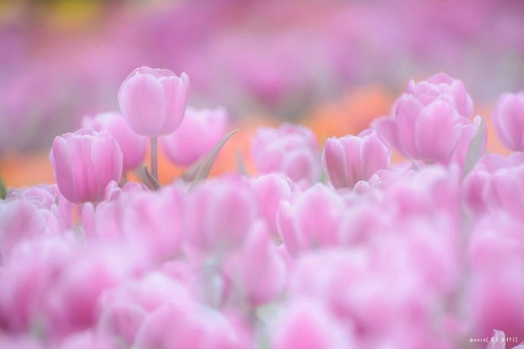 Flower Beauty In Nature Freshness Plant Fragility Purple Petal Pink Color Nature Flower Head Softness Blossom No People Close-up Growth Outdoors Day Scenics Crocus