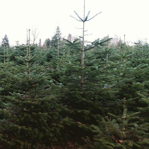 Deutschland sucht den Super Weihnachtsbaum - DSDW Baumschule Staack OL Oldenburg