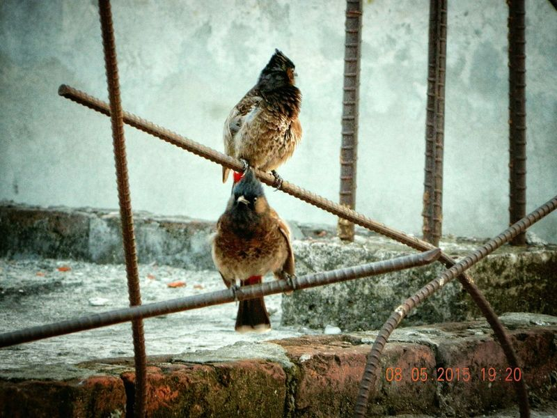 Red Whiskered Bulbuli Bird Watching Red Vented Bulbul Birds_collection Rustic_world Structures & Lines Urbanity No People Geometric Shapes Urban Birds Rusty Rust Leading Lines Birds Of EyeEm  Urban Nature Couple Cuteness Metallic Metal Things Birds On Metal Object Two Birds Two Birds In Frame Singing Birds The Birds Series