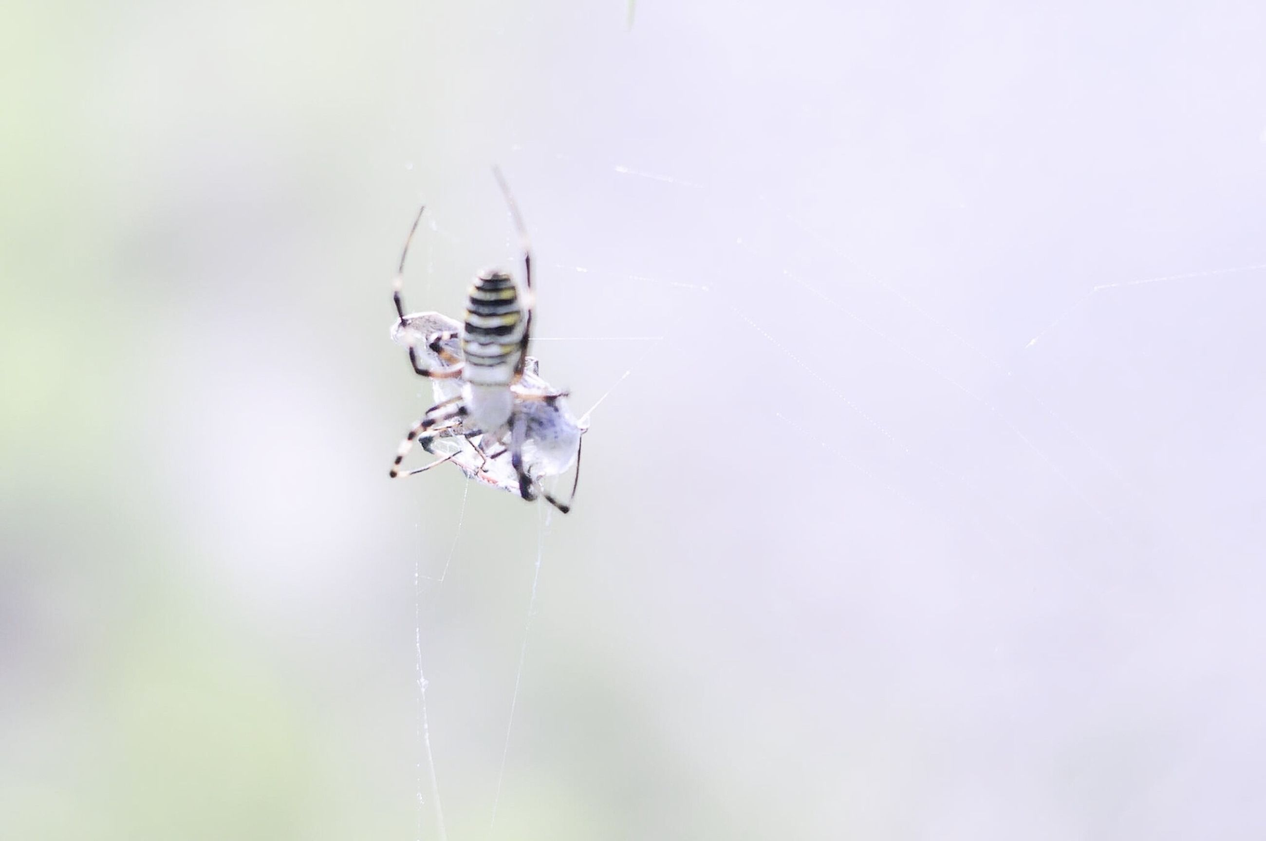 animal themes, insect, one animal, animals in the wild, mid-air, low angle view, wildlife, motion, full length, flying, day, copy space, nature, outdoors, spider, no people, two animals, selective focus, close-up, focus on foreground