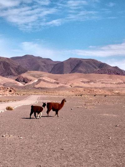 Llamas walking on field
