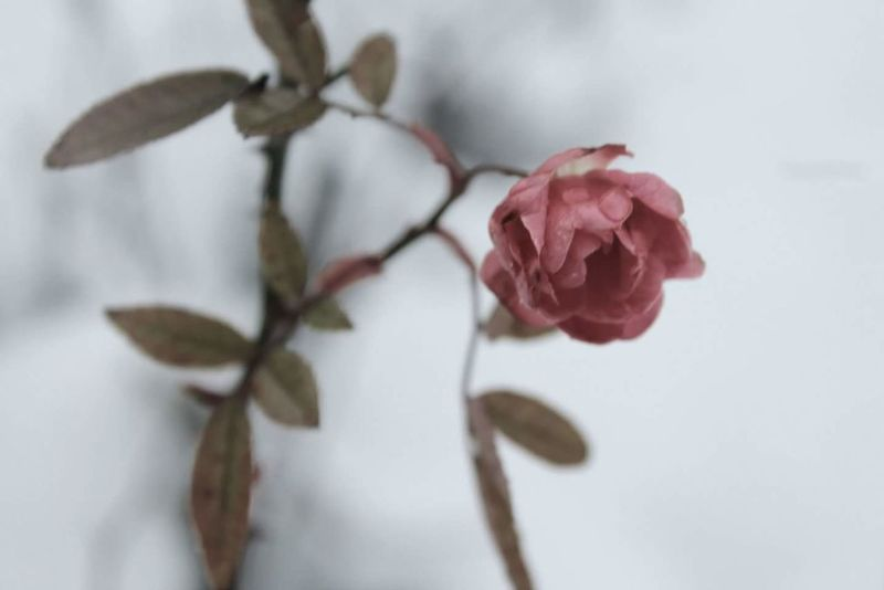 Rosé Flower Plant Frozen Snow Ice Nature Italy Italia Cremona Perspectives On Nature