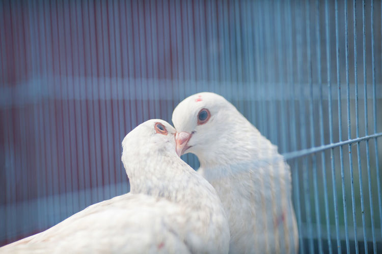 Close-up of white doves kissing in cage