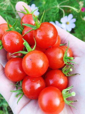 Die letzte Tomatenernte in diesem Jahr. Schade! /// Red Food Freshness Nature Plant Close-up Food And Drink Tomato Urban Gardening Yammy  Fresh Food Healthy Eating Outdoors