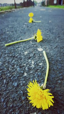 This Is Beauty  day 3. Urban Nature Dandelions Four In A Row On The Ground Yellow Just About To Rain