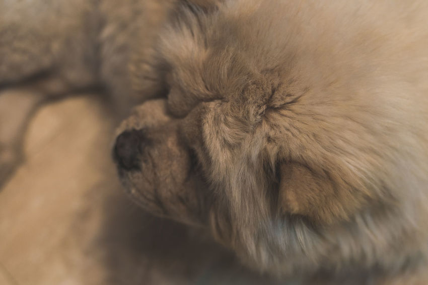 Fluffy lion-like ChowChow resting at homeAnimal Close-up Portrait Chow Chow Furry White Dog Dog❤ Dogslife Dogs Of EyeEm Dog Lover Dog Photography Chowchowlovers