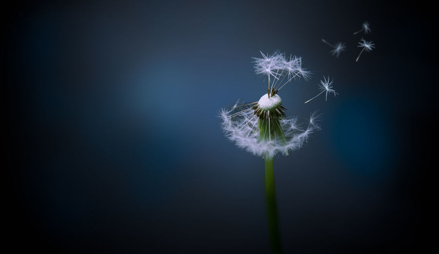 A picture of a dandelion with the seeds blowing off. Amazing Beautiful Beauty In Nature Check This Out Close-up Cool Copy Space Dandelion Dandelion Seed Dandelion Seed Day Flower Flower Head Fragility Horizontal Instagood Nature No People Outdoors Pic Of The Day Plant Sky