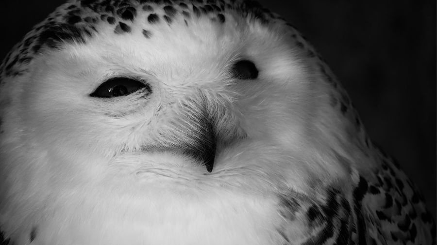Snowy Owl Front View Bird Head Owl Bubo Scandiacus One Animal Close-up Animal Wildlife Animals In The Wild Portrait Vertebrate Looking At Camera Looking Animal Body Part Focus On Foreground Bird Body Part Animal Eye Indoors  Eye No People