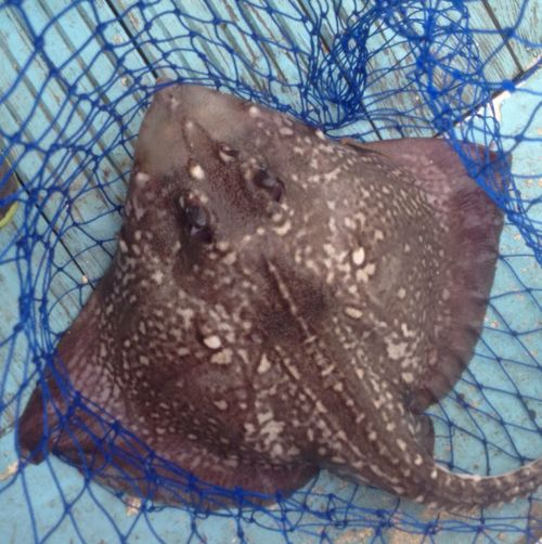 Fishing Thornback Ray Check This Out Outdoors
