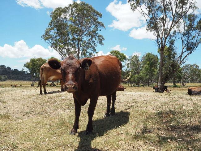 Grassfed Beef Grassfed Farming Domestic Animals Livestock No People Day Outdoors Cattlefarm Cattle Cows Cows In A Field Cow Australia Australian Farm Farm Life Farm Farmland Nature Mammal Sky Animal Wildlife Animal Themes