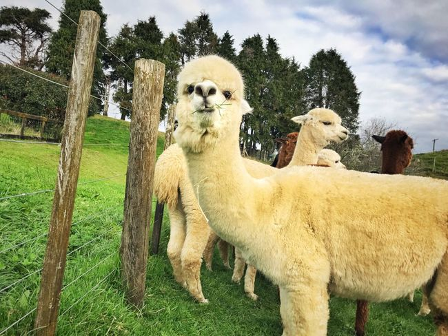 Lovely Cute Auckland New Zealand Portrait Growth Animal Themes Domestic Animals Grass Mammal Day Field Outdoors No People Sky Tree Alpaca Nature Beauty In Nature One Animal Grass Nature Animals Animals In The Wild
