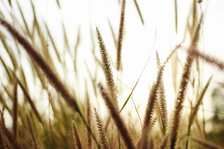 trees Agriculture Beauty In Nature Cereal Plant Close-up Crop  Day Ear Of Wheat Field Grass Growth Nature No People Outdoors Plant Sky Tranquility Wheat