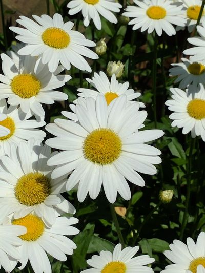 Daisy's! Flower Flower Head Petal Fragility Freshness White Color Daisy Pollen Yellow Nature Blooming Summer Close-up Outdoors Plant Day Beauty In Nature Calming Place Peaceful Place Calm