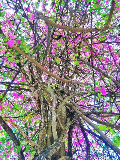 sweet tree Tree