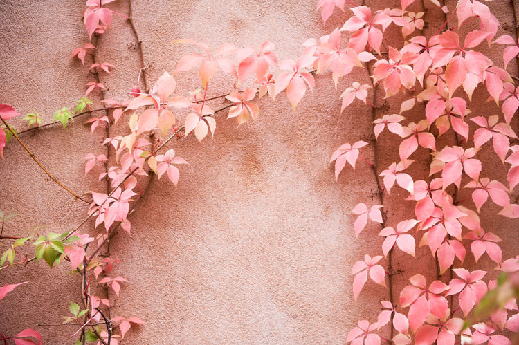 Wall abstract old ivy leaves of parthenocissus quinquefolia or woodbine plant creeping in autumn season. Photo taken in Poland, horizontal orientation, nobody. Abstract Autumn Climber Creeper Creeping Foliage Hedge Ivy Leaf Leafage Leafy Leaved Leaves Nature No People Parthenocissus Pink Pink Color Plant Millennial Pink Plants Quinquefolia Red Vitaceae Woodbine