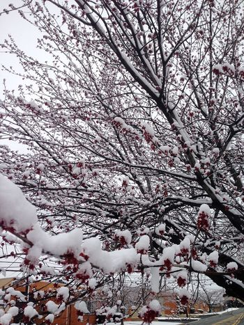 Tree Nature Branch White Color Cold Temperature Winter Snow Beauty In Nature Growth Low Angle View Springtime No People Flower Blossom Outdoors Pink Color Cherry Tree Freshness Cherry Blossom Day