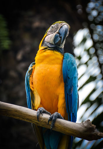 Bali Bali, Indonesia Animal Animal Themes Animal Wildlife Animals In The Wild Beak Bird Blue Branch Close-up Day Focus On Foreground Gold And Blue Macaw Macaw Nature No People One Animal Outdoors Parrot Perching Vertebrate Wood - Material Wooden Post Yellow