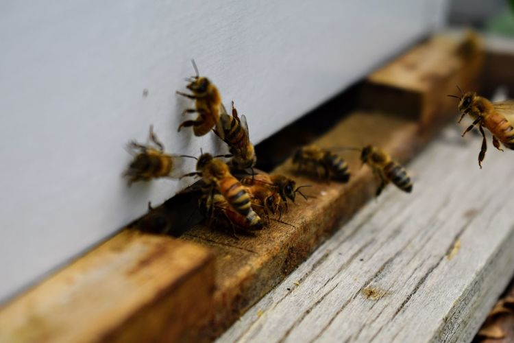 The bees at front hive entrance macro close up. Bee flying to hive. Honey bee entering the hive. Hives in an apiary with working bees flying to the landing boards in South Jordan, Utah. Bees Worker Antanna Apiarist Apiary Beehive Bugs Close-up Female Flight Hive Insect Macro Nectar Pollen Protective