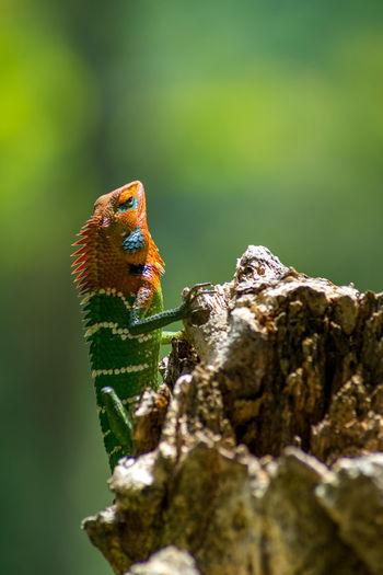 Close-up of an isolated orange and green lizard on a tree. ella, sri lanka. beautiful green bokeh.