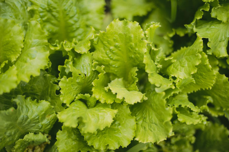 Backgrounds Beauty In Nature Close-up Day Food Food And Drink Freshness Full Frame Green Color Growth Healthy Eating Leaf Lettuce Nature No People Plant Plant Part Selective Focus Vegetable Wellbeing