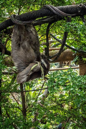 Sloth hanging on tree in zoo