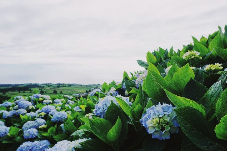 hortensias everywhere Rural Scene Agriculture Sky Close-up Plant Green Color Plant Life Blooming Blossom Botany Focus In Bloom Flower Head