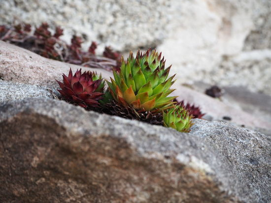 Beautiful Beautiful Nature Stone Flower Beauty In Nature Cactus Close-up Day Flower Green Color Grey Growth Nature No People Outdoors Plant Red Rock Rock - Object Selective Focus Solid Spiked Spiky Stoneflower Succulent Plant Textured