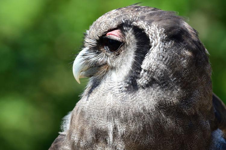 Head shot of a verreauxs eagle owl