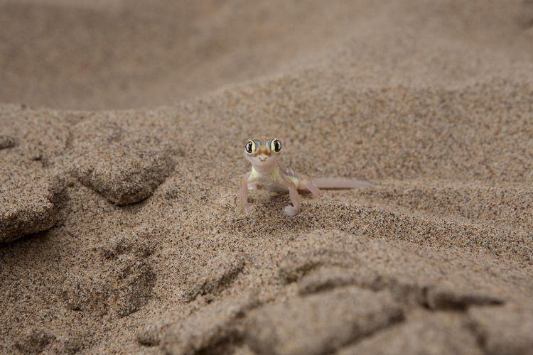 Portrait of namib web-footed gecko on sand at desert