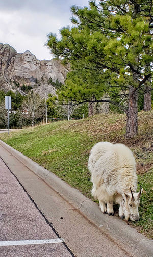 Mountain goat near parking lot of Mount Rushmore Cloudy Sky Mount Rushmore National Memorial Rock Formation Day Grass No People One Animal Outdoors