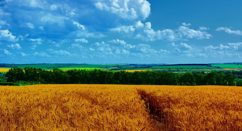 Agriculture Sky Landscape Cloud - Sky Nature Crop  Scenics Field Rural Scene Outdoors Yellow Beauty In Nature Day No People Food Freshness Mammal