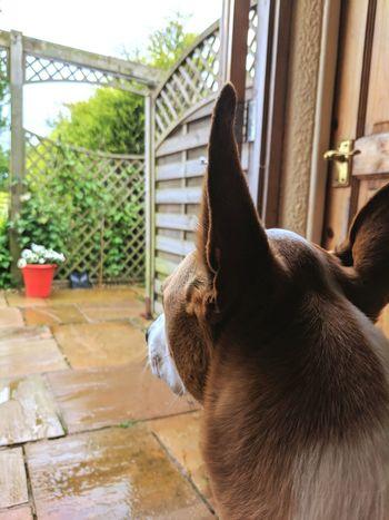 Pet Portraits Dog Close-up Dog Watching A Storm Dog Watching Rain Dog Waiting Large Ears Dog Large Ears