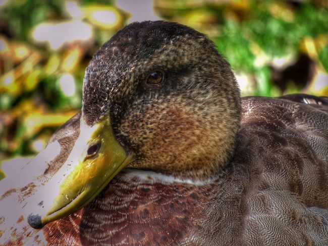 One Animal Duck Close-up Bird Animals In The Wild Portrait Autumn Fz72 Snapseed Panasonic Lumix Nature
