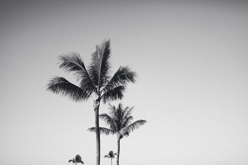 Analogue Photography Grass Beauty In Nature Blackandwhite Clear Sky Close-up Copy Space Day Growth Low Angle View Nature No People Outdoors Palm Frond Palm Tree Sky Tree Tree Trunk