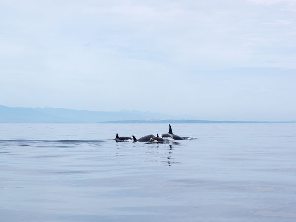 Animal Themes Animal Wildlife Animals In The Wild Bc BC, Canada Beauty In Nature Bird Canada Coastline Day Killer Whale Killer Whales Nature No People Ocean Ocean View Orca Orcas Outdoors Sea Sky Swimming Togetherness Water Water Bird
