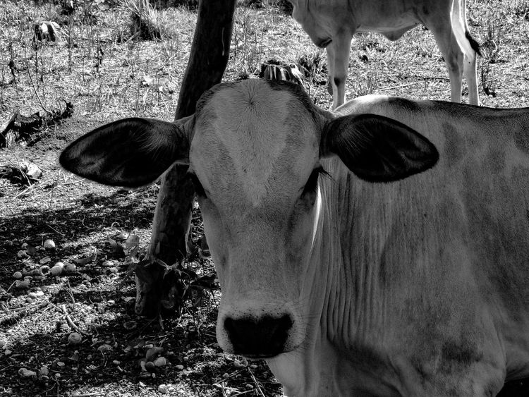 Cow Vaca Fauna Fazenda Farm Adobe Adobelightroommobile Adobe Photoshop Sony Photography Brasil Brazil Animal FarmAnimal Nature Rural BR Natureza