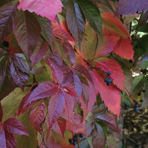 Autumn Leaves Colors Red beautiful cold winteriscoming