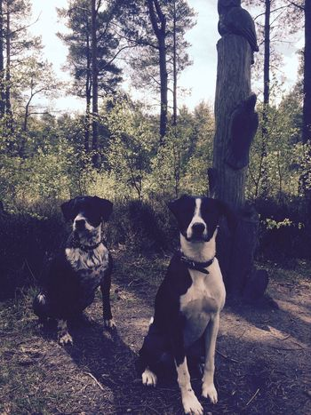 Sprollie Spaniel Dogs I Love My Dog Forest Trees