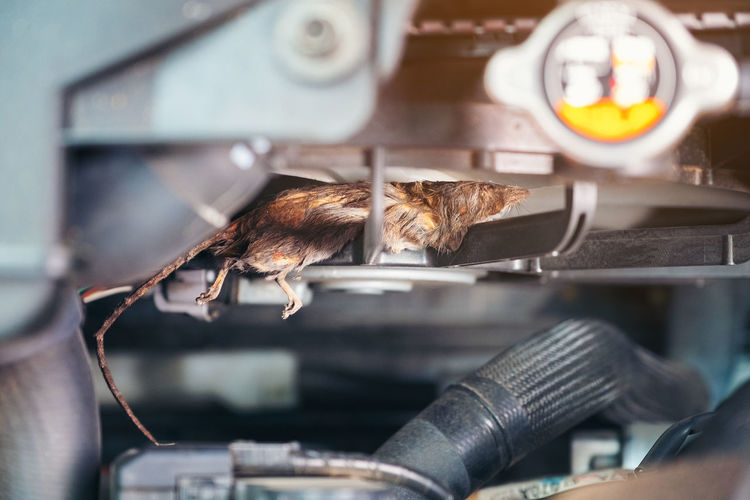 Auto mechanic clean dirty air fan form mouse.It try collect garbage to build rat's nest in car. technician repairs problem Mammal Cat Pets One Animal Domestic Feline Domestic Animals Vertebrate Domestic Cat Selective Focus Human Body Part Hand People Human Hand Indoors  Close-up Rat