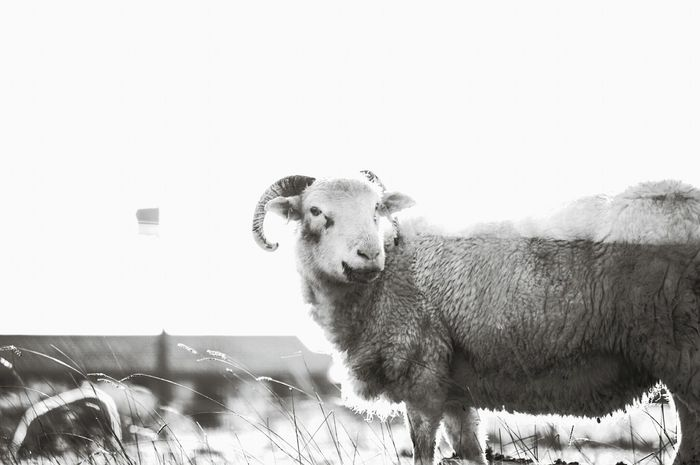 Livestock Animal Themes No People Domestic Animals Mammal Sky Landscape Nature Sheep Outdoors Day Farming Yorkshire Nature On Your Doorstep Nature Photography Animal Wildlife Livestock One Animal Black And White Monochrome Nature The Joker Animal Grazing Grazing Sheep