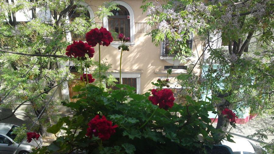 Balcony Balcony View Flowers Malvón Window Window View