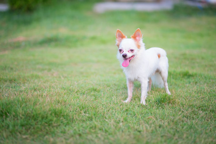Petite Chihuahua white dog happily grass green Domestic Grass Domestic Animals Pets Animal Themes One Animal Mammal Animal Plant Dog Canine Vertebrate Land Field Nature Selective Focus No People Day Portrait Standing Mouth Open Pomeranian Panting