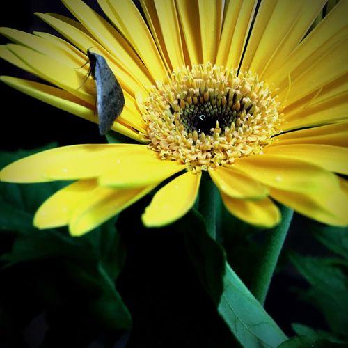 Gerbera Daisy Moth Colour Yellow Gerbera Petals Bloom Flower Colour Green Paint The Town Yellow