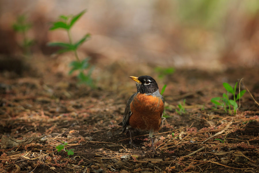 The early bird catches the worm Robin Redbreast Robins Bird Animal Animal Wildlife Animals In The Wild Animal Themes No People One Animal Nature In My Garden Birds Of EyeEm  Birds Birds Of A Feather American Robin