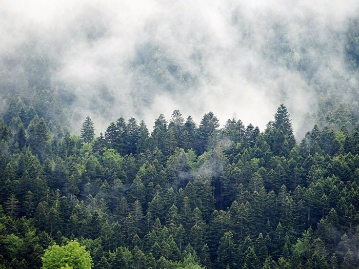 Morning Tree Plant Growth Beauty In Nature Nature Sky Cloud - Sky No People Tranquility Low Angle View Forest Outdoors Land Scenics - Nature Day Green Color Environment Non-urban Scene Coniferous Tree Pine Tree