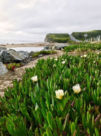 ICE PLANT Sea Plants Beach Pacific Highway California