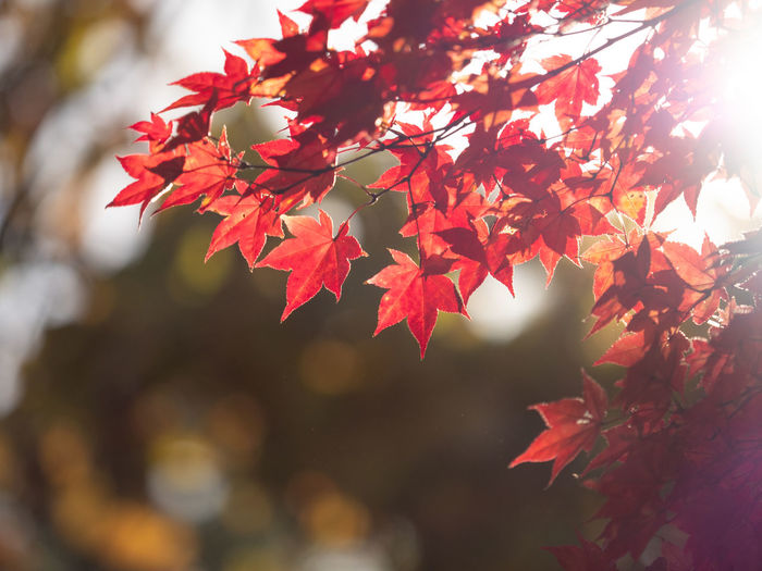 Beauty In Nature Plant Plant Part Red Leaf Focus On Foreground Autumn Close-up Growth Tree Nature Change Day Maple Leaf No People Branch Vulnerability  Fragility Outdoors Selective Focus Leaves Natural Condition