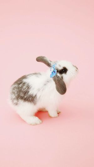 High angle view of rabbit on pink background