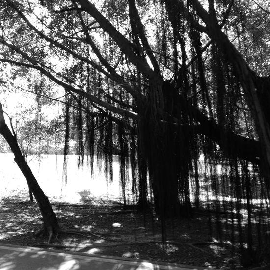 Tree Hwaweip9 Monochrome Nature